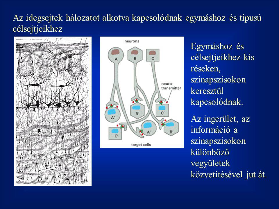 Az idegsejtek hálozatot alkotva kapcsolódnak egymáshoz és típusú célsejtjeikhez