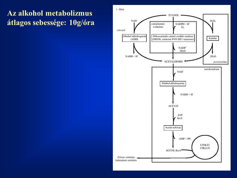 Az alkohol metabolizmus átlagos sebessége: 10g/óra