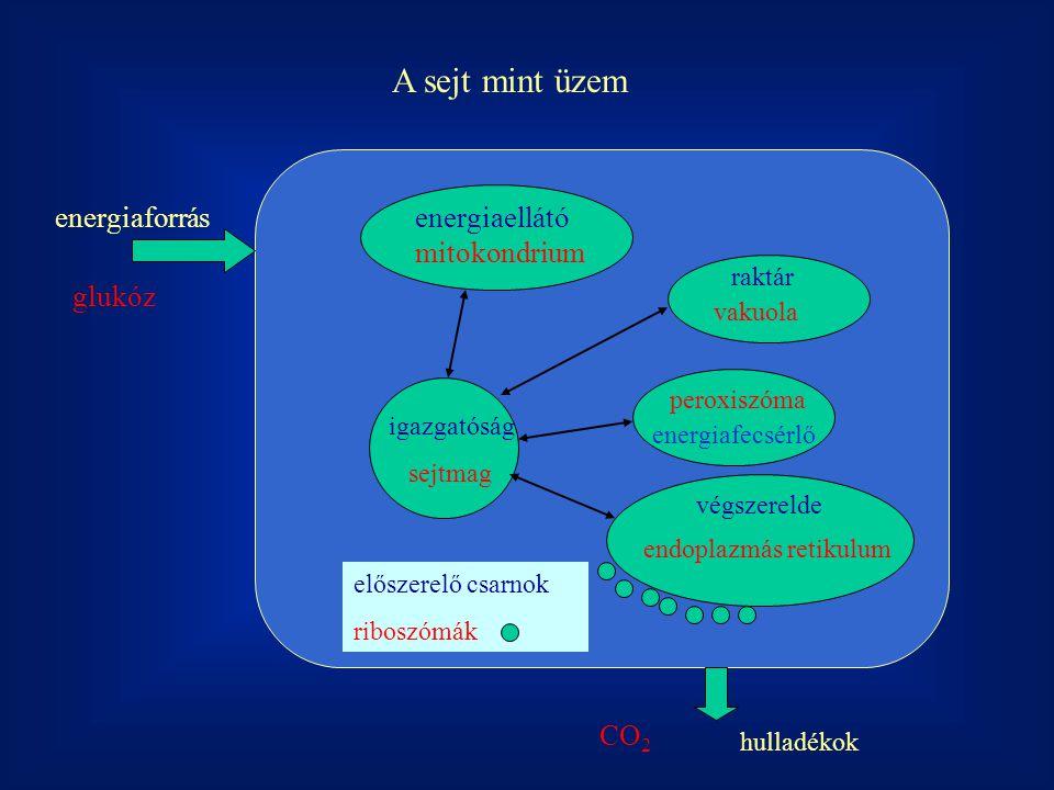 A sejt mint üzem energiaforrás energiaellátó mitokondrium glukóz CO2