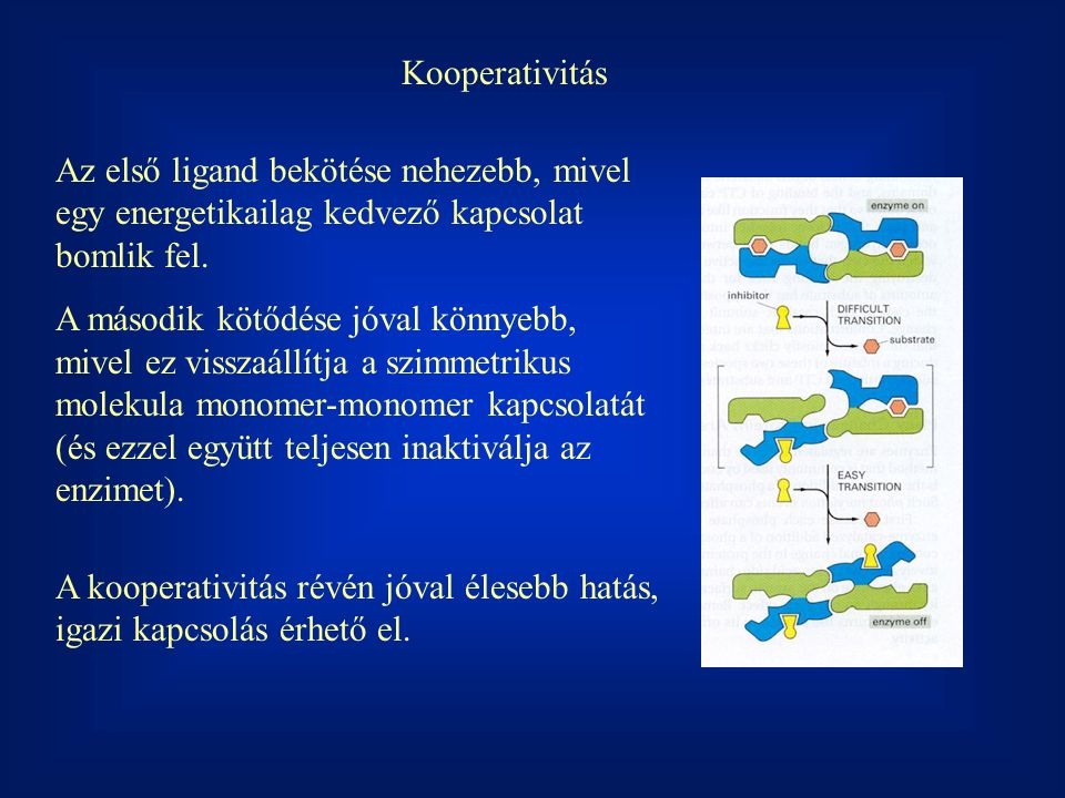Kooperativitás Az első ligand bekötése nehezebb, mivel egy energetikailag kedvező kapcsolat bomlik fel.