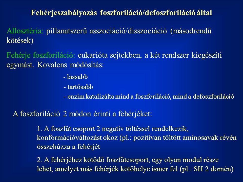 Fehérjeszabályozás foszforiláció/defoszforiláció által