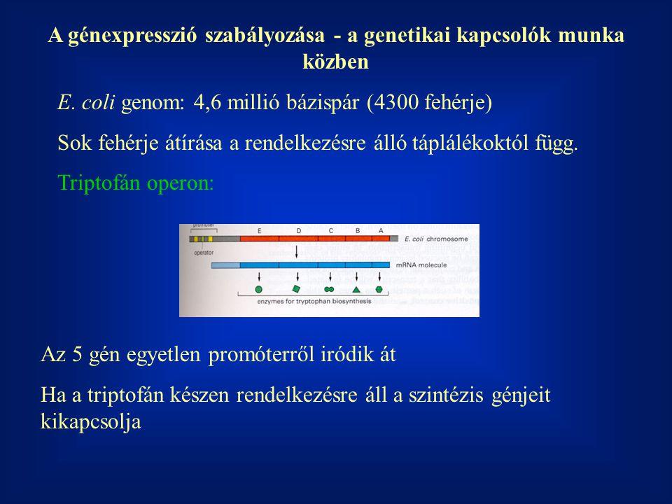 A génexpresszió szabályozása - a genetikai kapcsolók munka közben