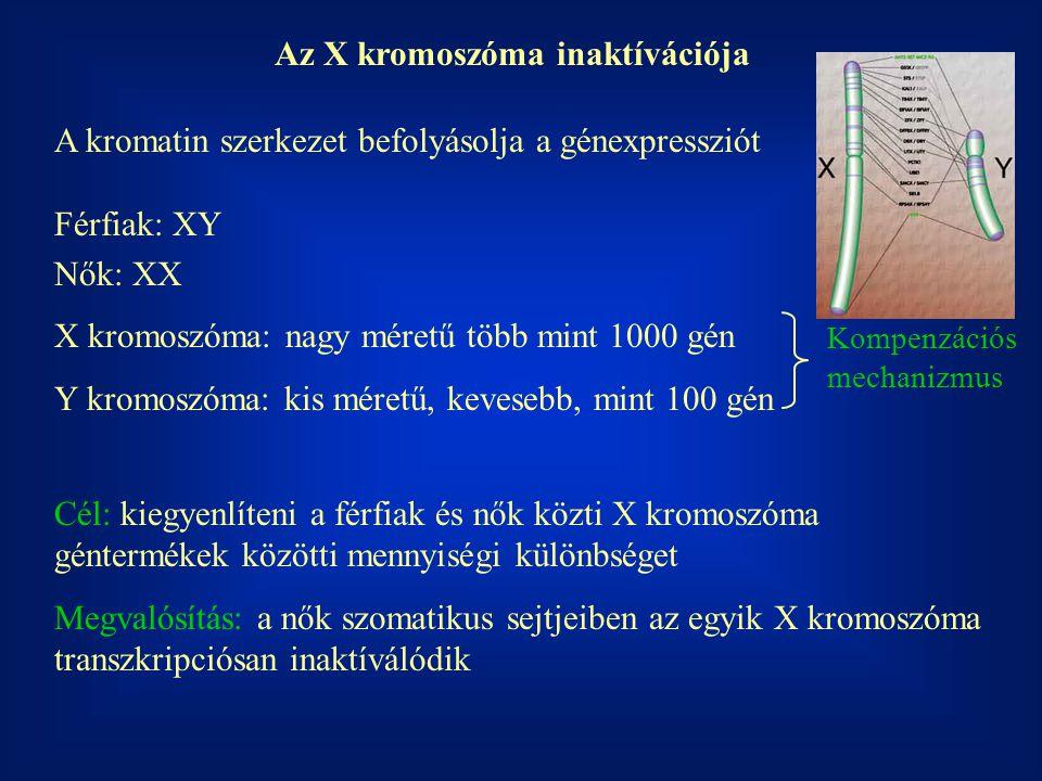 Az X kromoszóma inaktívációja
