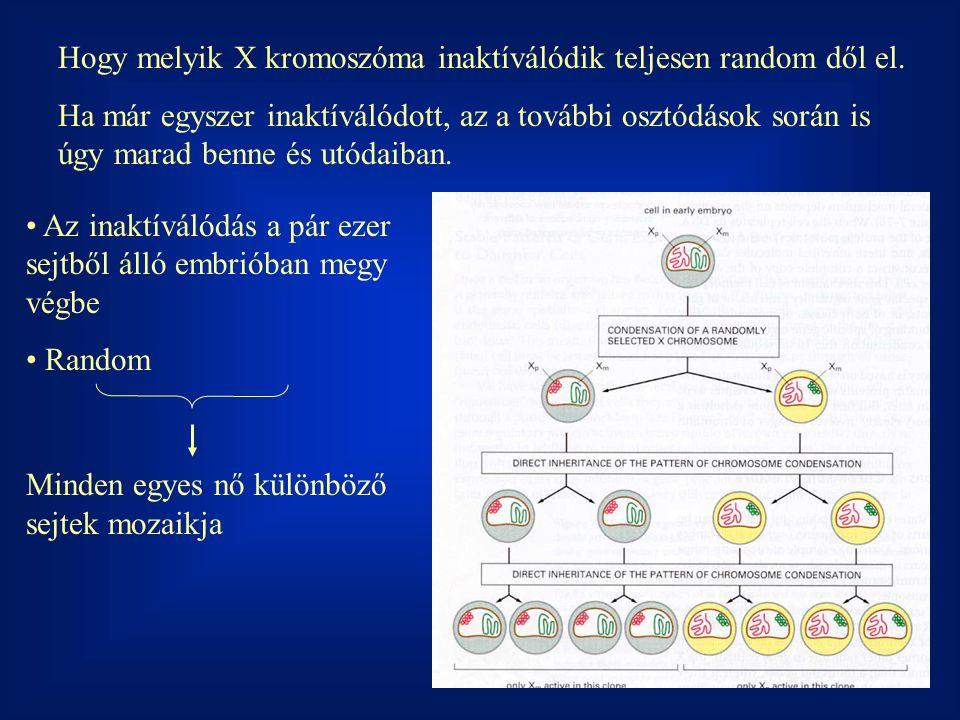 Hogy melyik X kromoszóma inaktíválódik teljesen random dől el.
