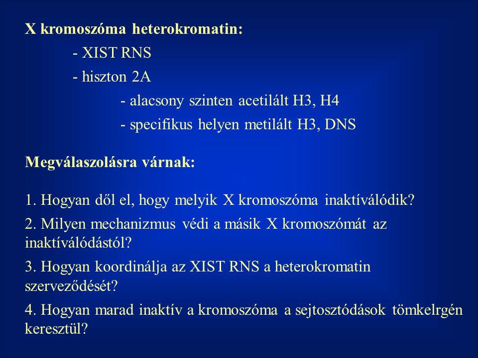 X kromoszóma heterokromatin: