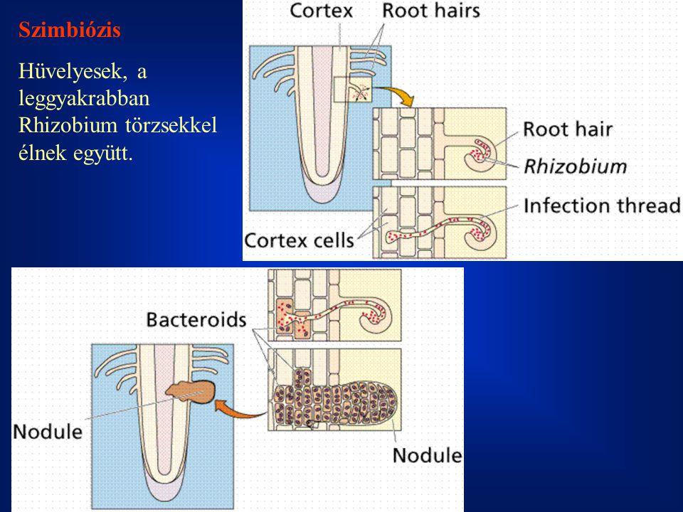 Szimbiózis Hüvelyesek, a leggyakrabban Rhizobium törzsekkel élnek együtt.