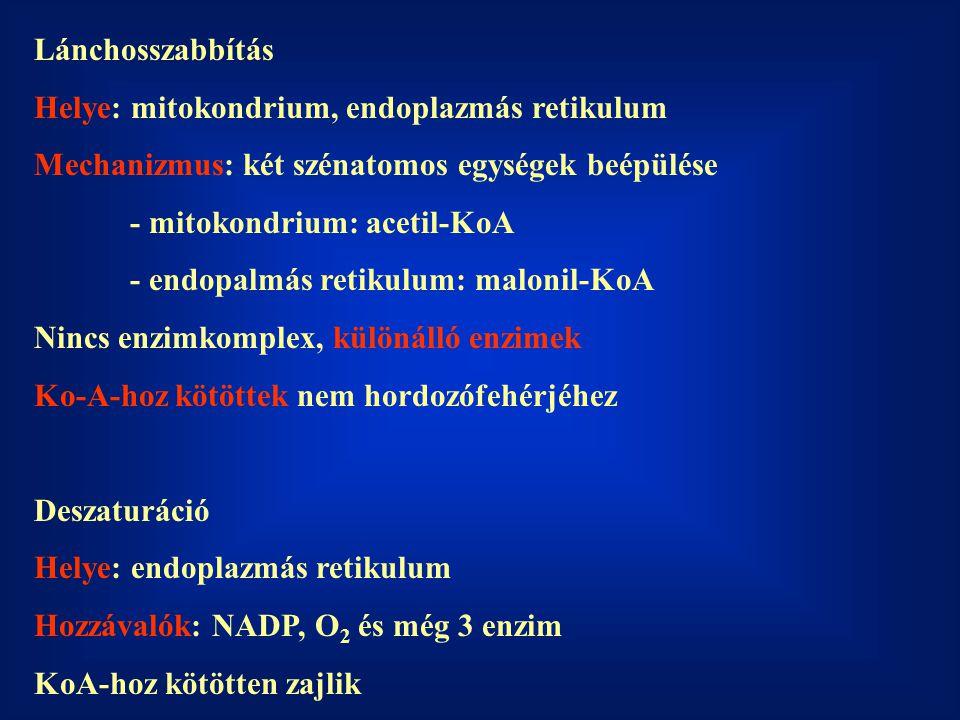 Lánchosszabbítás Helye: mitokondrium, endoplazmás retikulum. Mechanizmus: két szénatomos egységek beépülése.