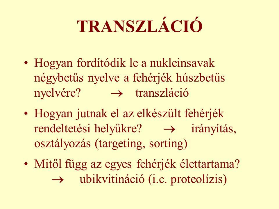 TRANSZLÁCIÓ Hogyan fordítódik le a nukleinsavak négybetűs nyelve a fehérjék húszbetűs nyelvére  transzláció.