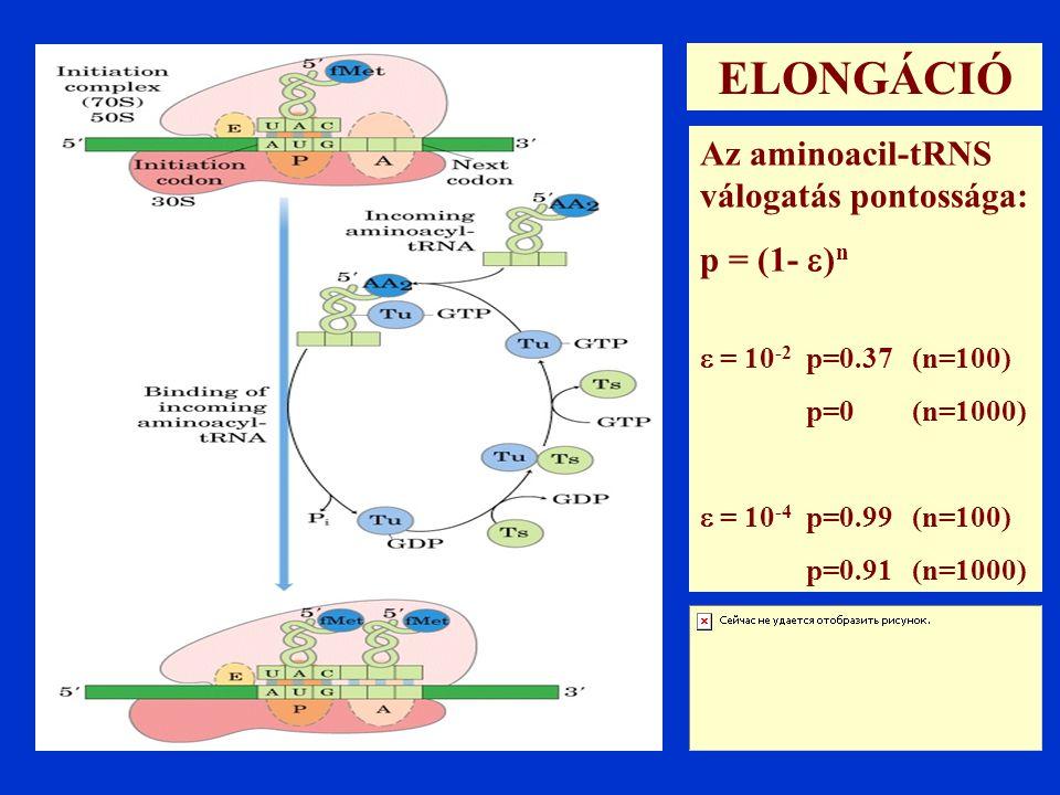 ELONGÁCIÓ Az aminoacil-tRNS válogatás pontossága: p = (1- )n