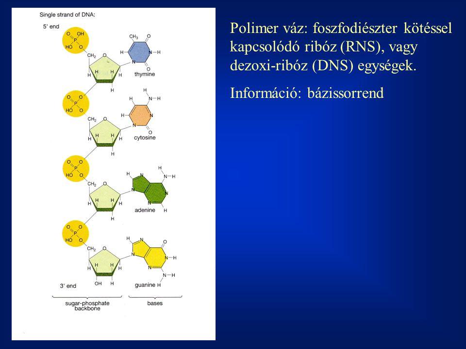 Polimer váz: foszfodiészter kötéssel kapcsolódó ribóz (RNS), vagy dezoxi-ribóz (DNS) egységek.