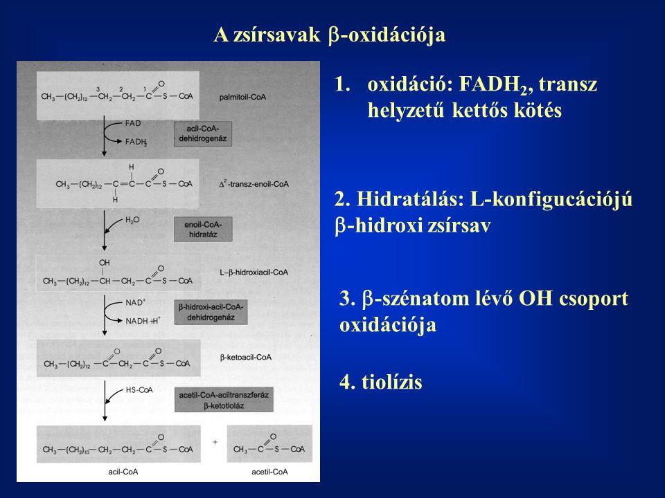 A zsírsavak b-oxidációja