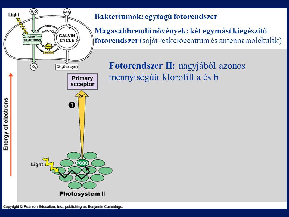 Fotorendszer II: nagyjából azonos mennyiségúű klorofill a és b