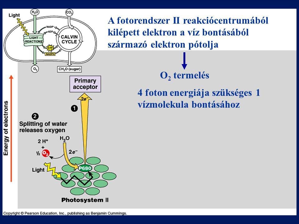 A fotorendszer II reakciócentrumából kilépett elektron a víz bontásából származó elektron pótolja