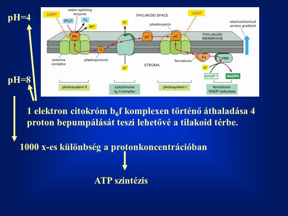 pH=4 pH=8. 1 elektron citokróm b6f komplexen történő áthaladása 4 proton bepumpálását teszi lehetővé a tilakoid térbe.