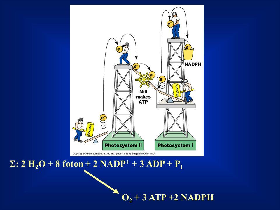 S: 2 H2O + 8 foton + 2 NADP+ + 3 ADP + Pi