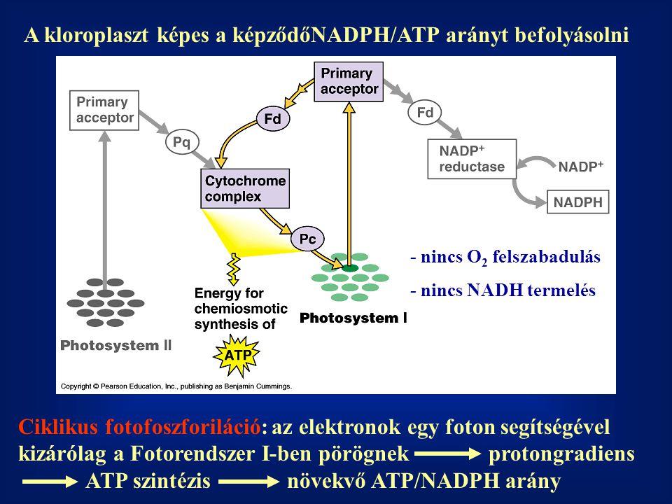 A kloroplaszt képes a képződőNADPH/ATP arányt befolyásolni