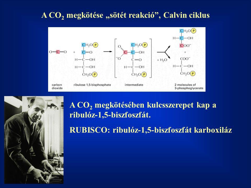 """A CO2 megkötése """"sötét reakció , Calvin ciklus"""
