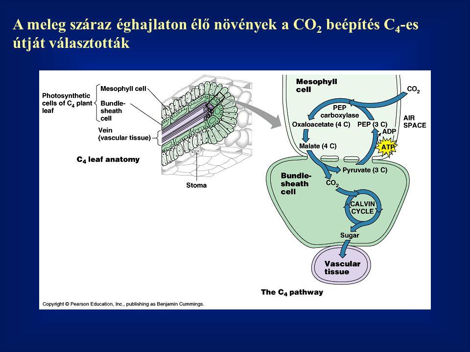 A meleg száraz éghajlaton élő növények a CO2 beépítés C4-es útját választották