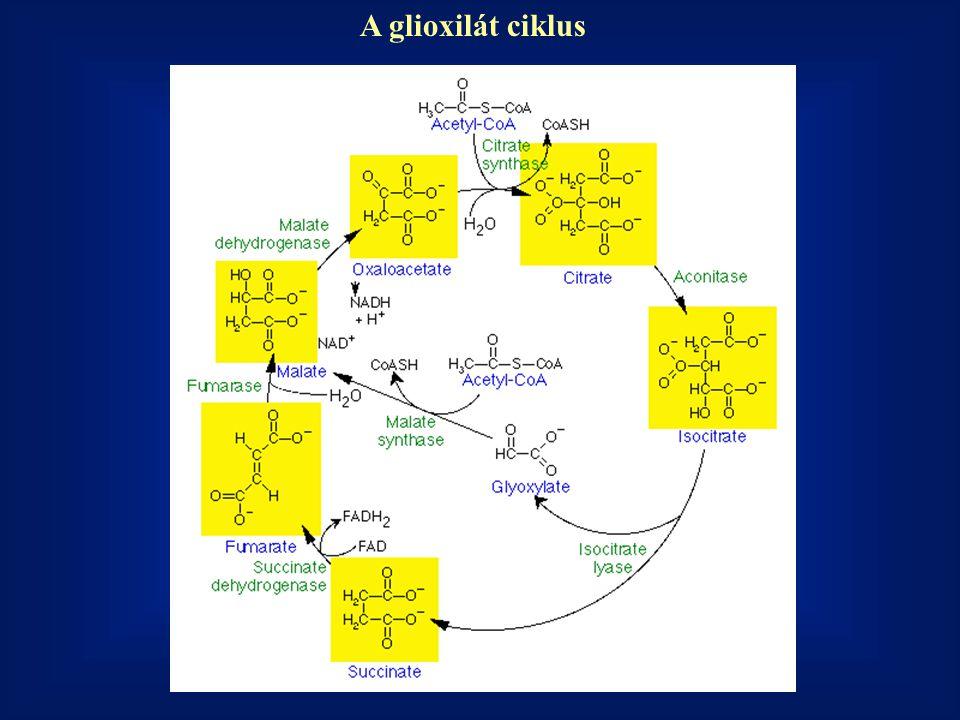 A glioxilát ciklus