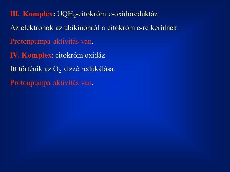 III. Komplex: UQH2-citokróm c-oxidoreduktáz