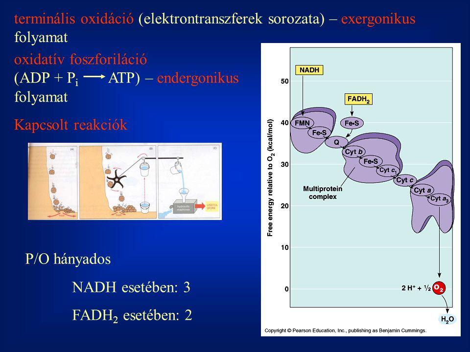 terminális oxidáció (elektrontranszferek sorozata) – exergonikus folyamat
