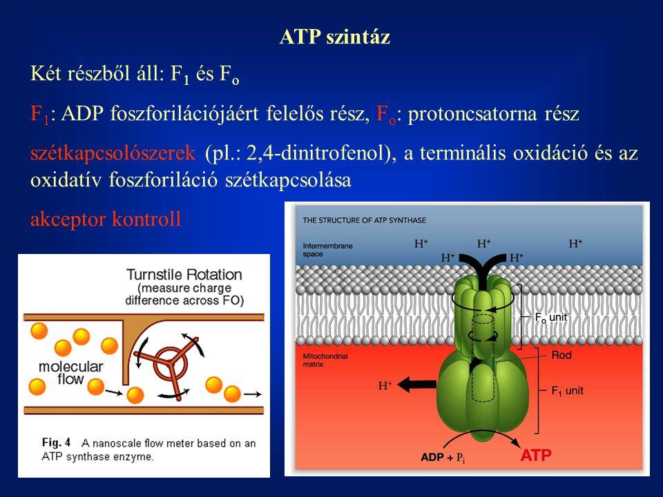 ATP szintáz Két részből áll: F1 és Fo. F1: ADP foszforilációjáért felelős rész, Fo: protoncsatorna rész.