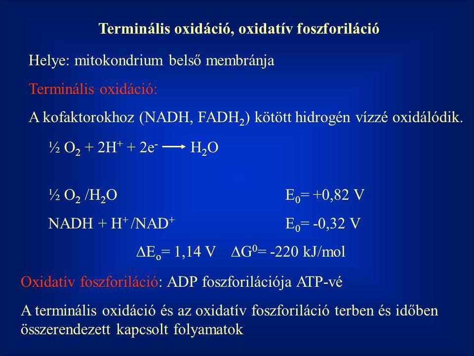 Terminális oxidáció, oxidatív foszforiláció