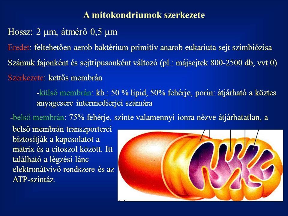 A mitokondriumok szerkezete