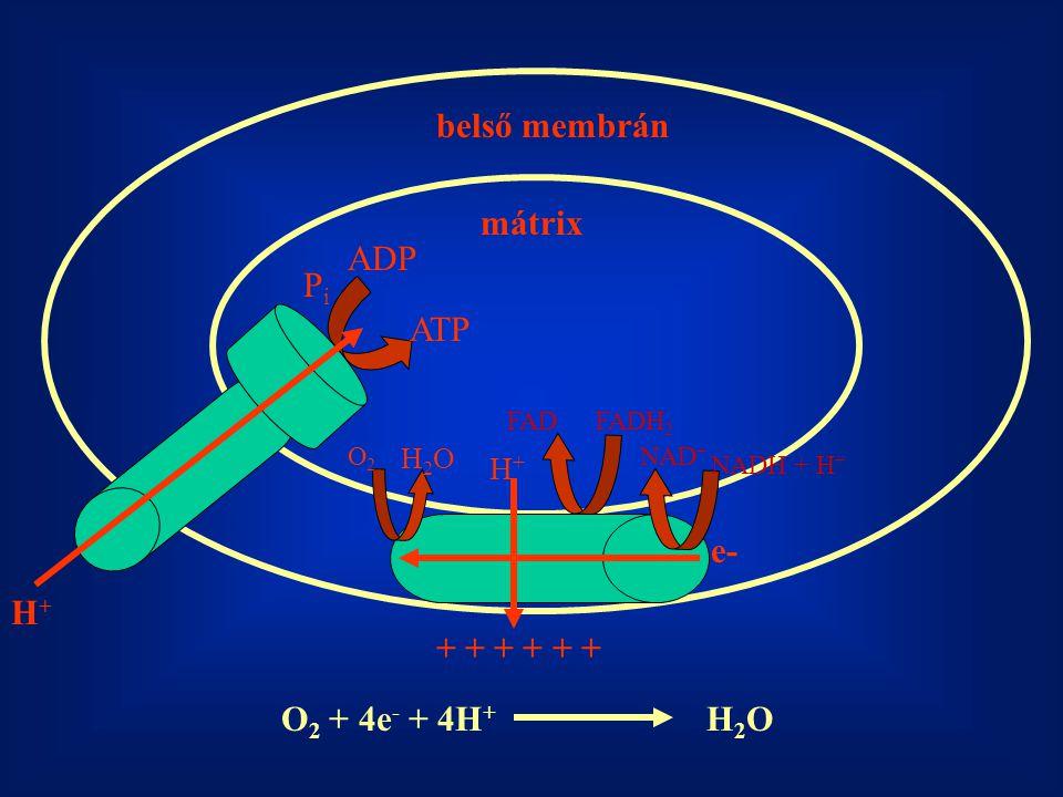 belső membrán mátrix ADP Pi ATP e- H+ + + + + + + O2 + 4e- + 4H+ H2O