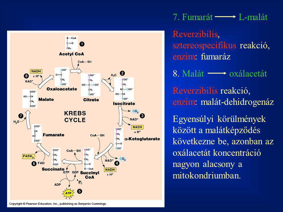 7. Fumarát L-malát Reverzibilis, sztereospecifikus reakció, enzim: fumaráz. 8. Malát oxálacetát.