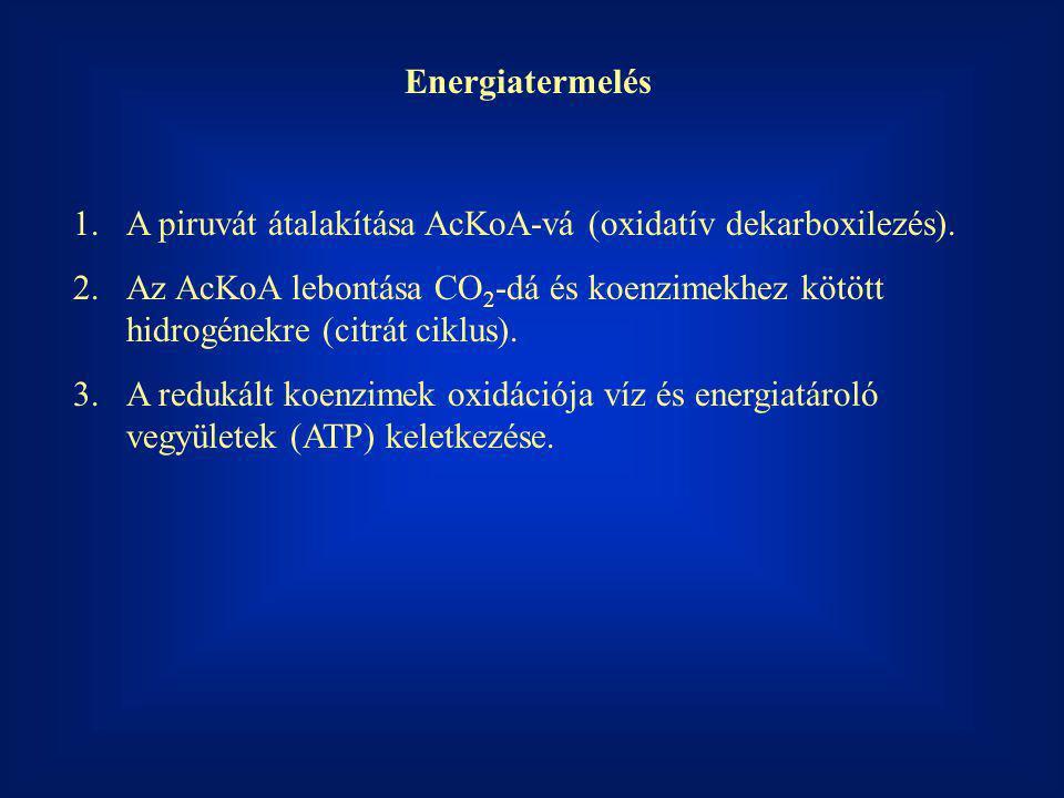 Energiatermelés A piruvát átalakítása AcKoA-vá (oxidatív dekarboxilezés).