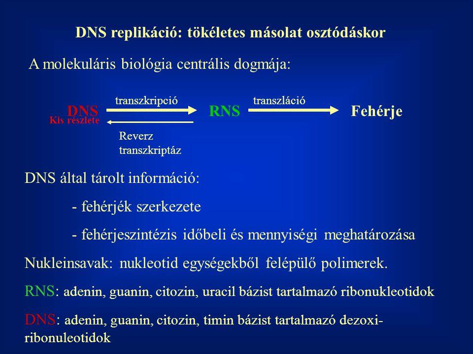 DNS replikáció: tökéletes másolat osztódáskor