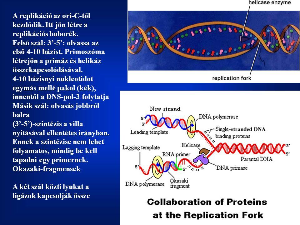 A replikáció az ori-C-től kezdődik. Itt jön létre a replikációs buborék. Felső szál: 3'-5': olvassa az első 4-10 bázist. Primoszóma létrejön a primáz és helikáz összekapcsolódásával. 4-10 bázisnyi nukleotidot egymás mellé pakol (kék), innentől a DNS-pol-3 folytatja Másik szál: olvasás jobbról balra (3'-5')-szintézis a villa nyitásával ellentétes irányban.