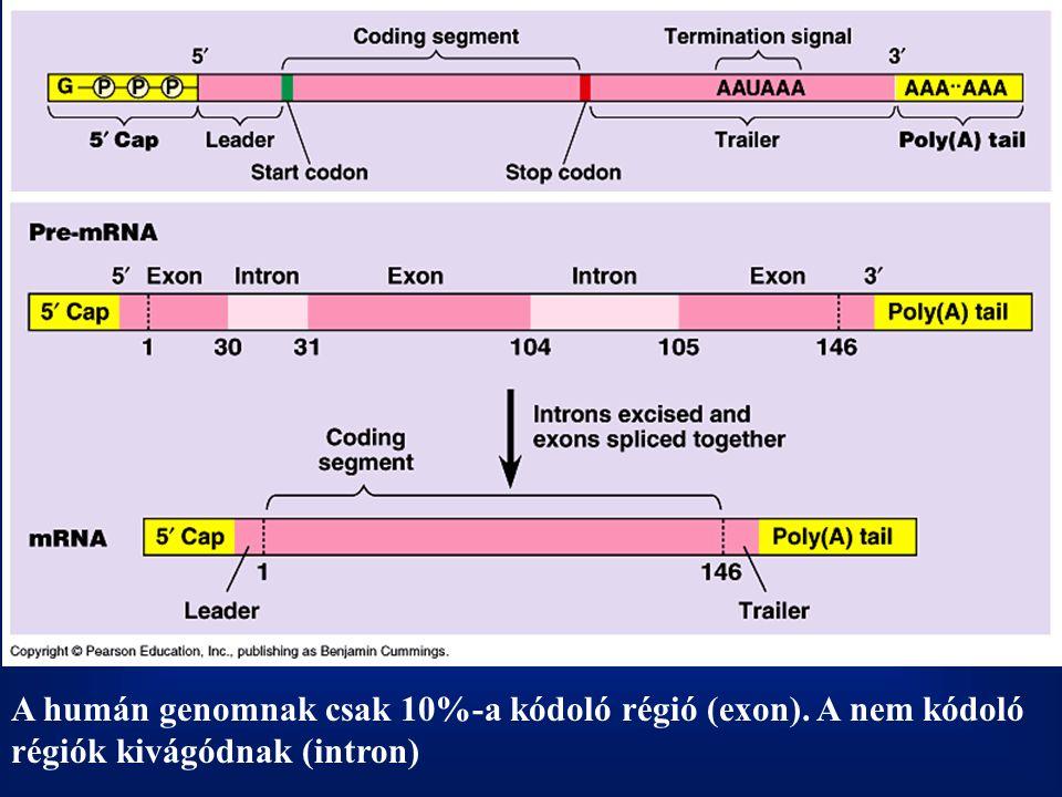 A humán genomnak csak 10%-a kódoló régió (exon)