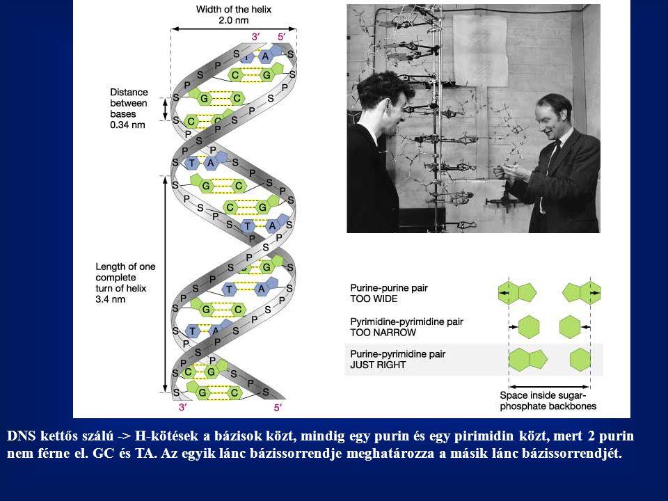 DNS kettős szálú -> H-kötések a bázisok közt, mindig egy purin és egy pirimidin közt, mert 2 purin nem férne el.