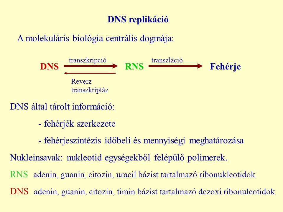 DNS replikáció DNS RNS Fehérje