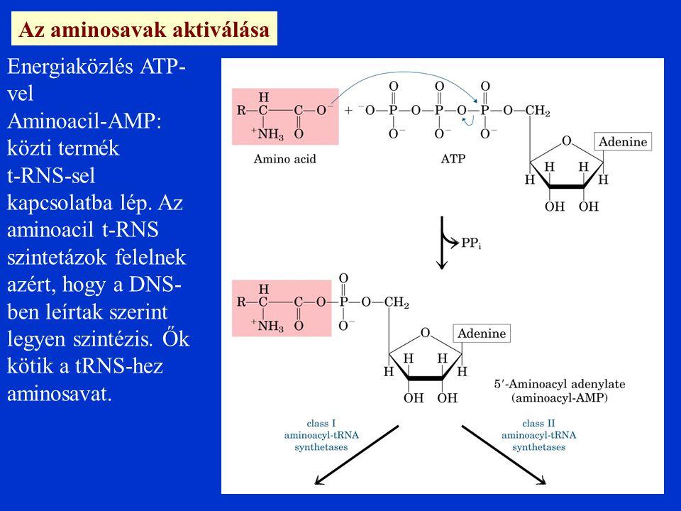 Az aminosavak aktiválása