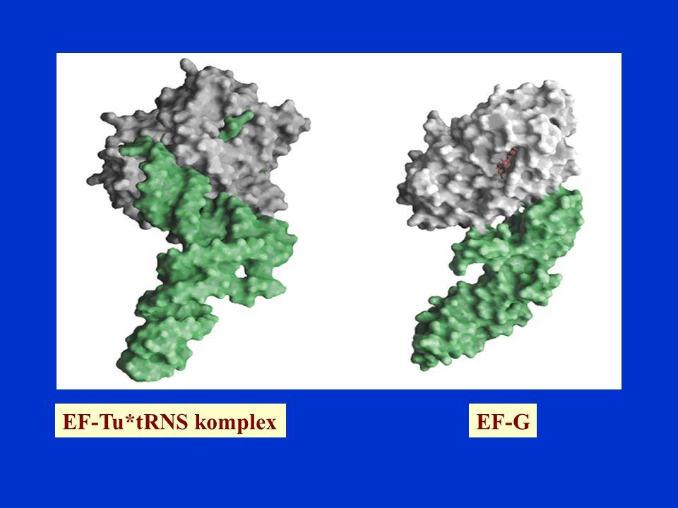 EF-Tu*tRNS komplex EF-G