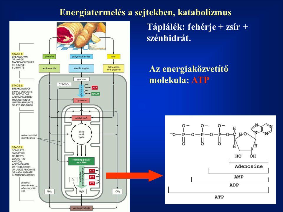 Energiatermelés a sejtekben, katabolizmus