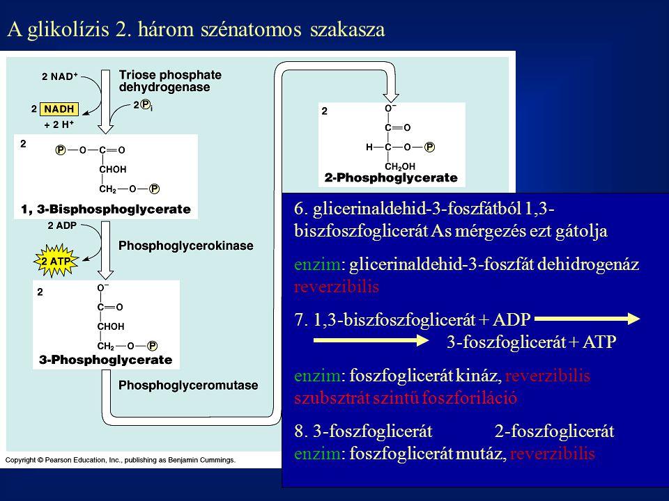 A glikolízis 2. három szénatomos szakasza