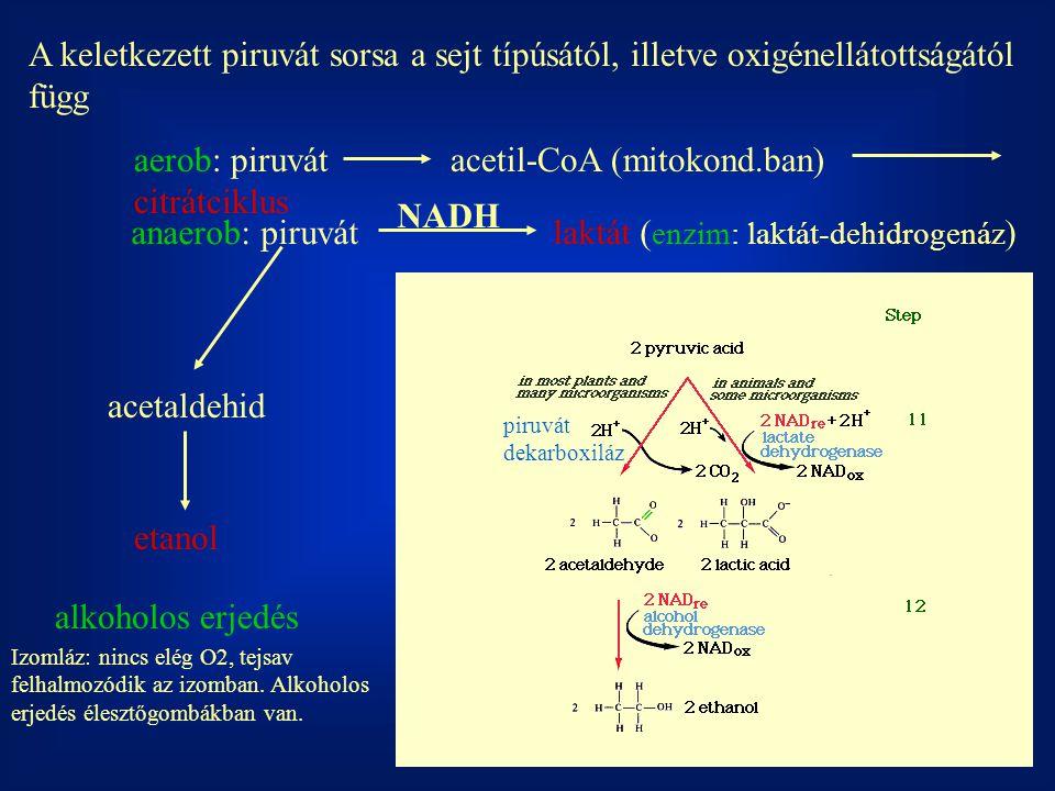 aerob: piruvát acetil-CoA (mitokond.ban) citrátciklus