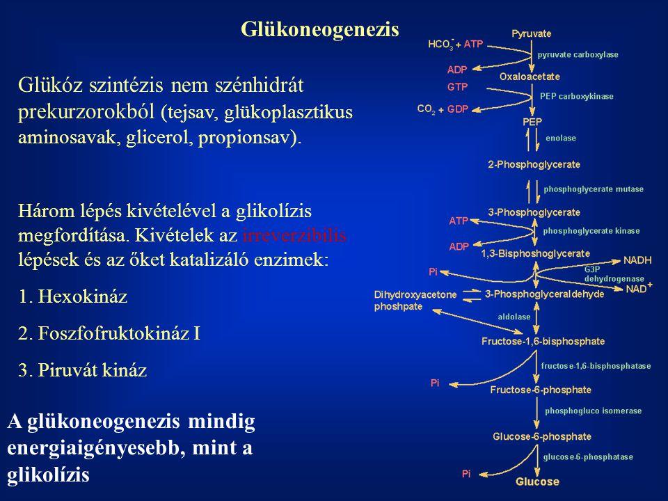 A glükoneogenezis mindig energiaigényesebb, mint a glikolízis