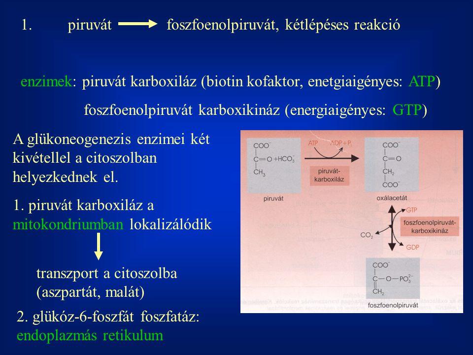 1. piruvát foszfoenolpiruvát, kétlépéses reakció