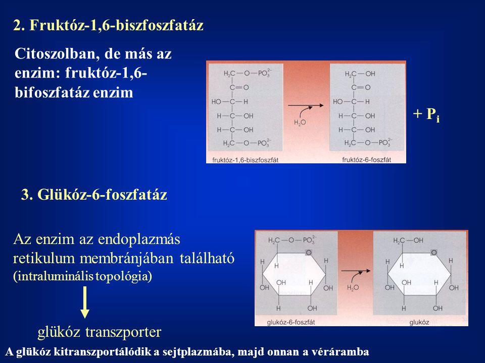 2. Fruktóz-1,6-biszfoszfatáz