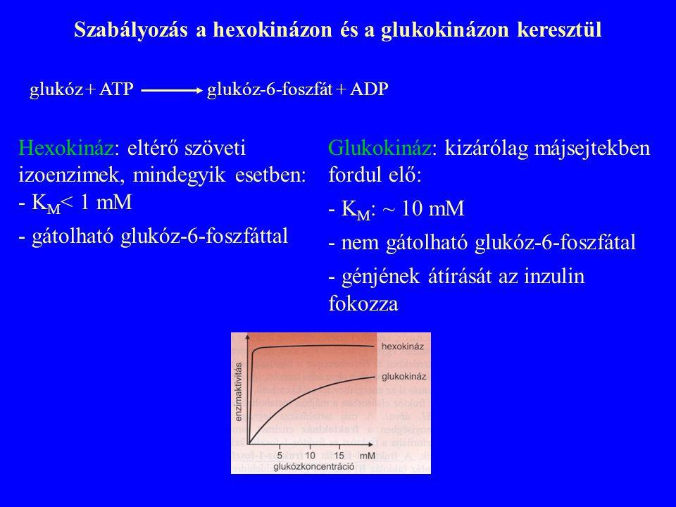 Szabályozás a hexokinázon és a glukokinázon keresztül
