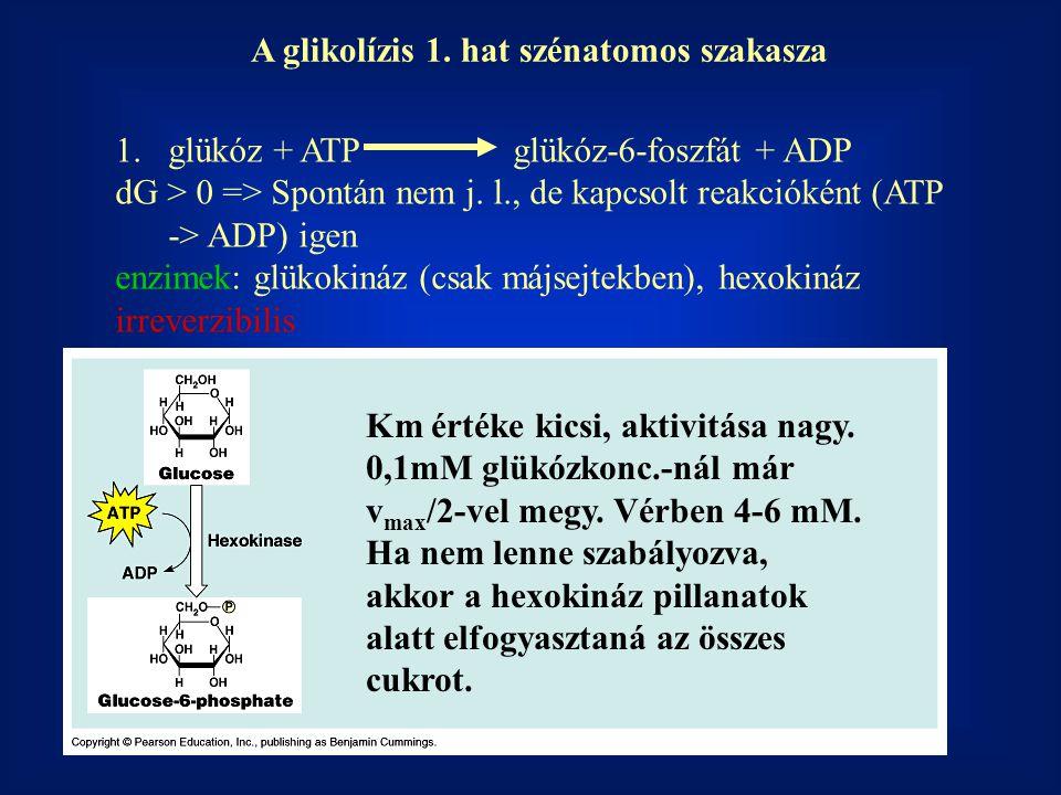 A glikolízis 1. hat szénatomos szakasza