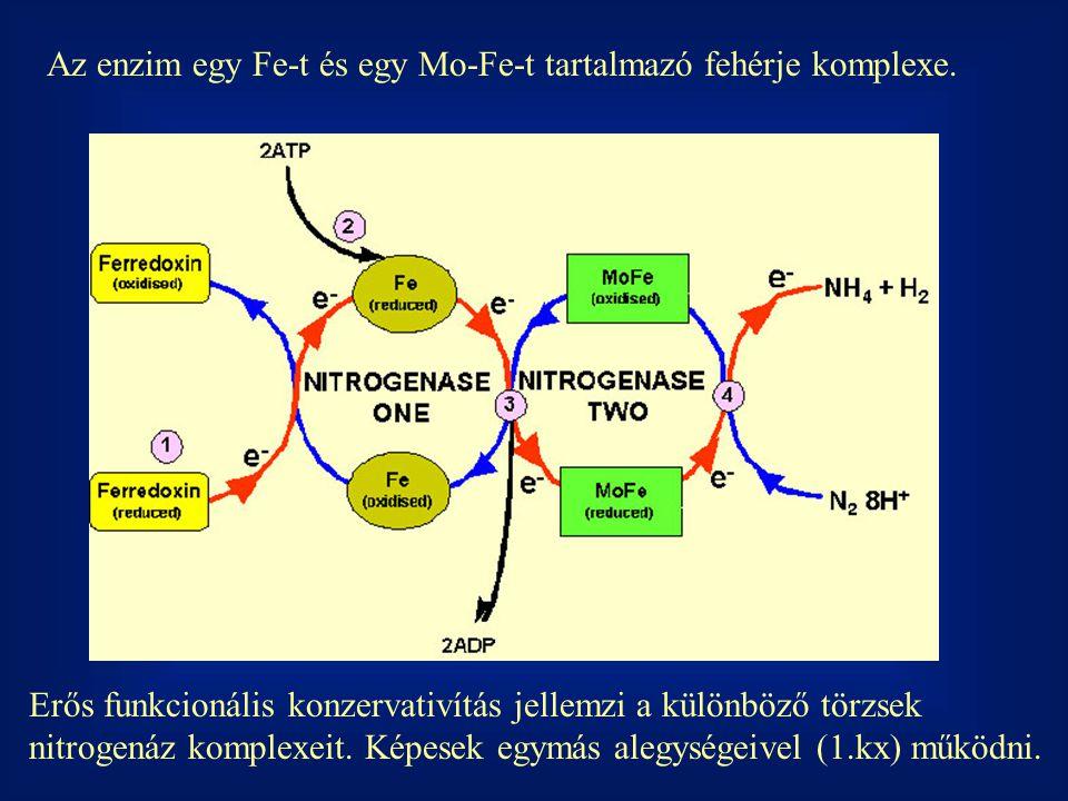 Az enzim egy Fe-t és egy Mo-Fe-t tartalmazó fehérje komplexe.