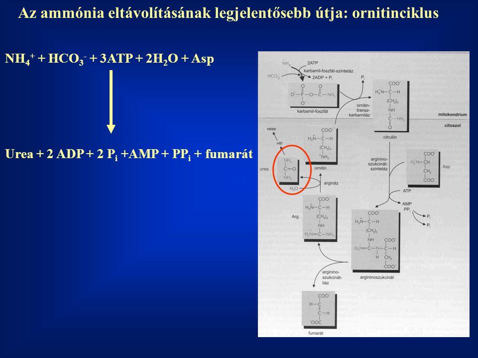 Az ammónia eltávolításának legjelentősebb útja: ornitinciklus
