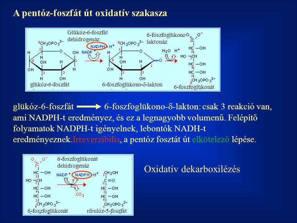 A pentóz-foszfát út oxidatív szakasza