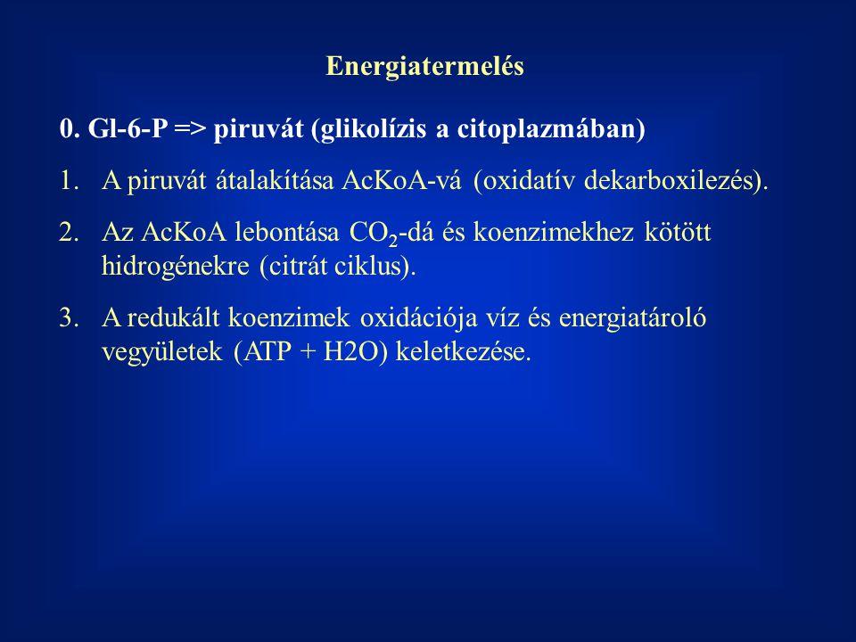 Energiatermelés 0. Gl-6-P => piruvát (glikolízis a citoplazmában) A piruvát átalakítása AcKoA-vá (oxidatív dekarboxilezés).